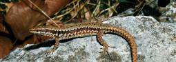 Die Mauereidechse: Reptil des Jahres 2011