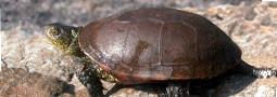 Bedrohungsstatus der Europäischen Sumpfschildkröte