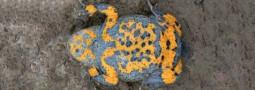 Artenschutzmaßnahme für die Gelbbauchunke
