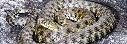 Das Reptil des Jahres 2009: Die Würfelnatter