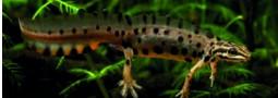 Mertensiella Band 19: Der Teichmolch Lissotriton vulgaris