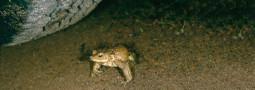 Gefährdung und Schutz der Erdkröte