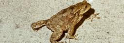 Das Erdkrötenleben im Jahresverlauf