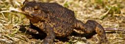 Die Erdkröte: Lurch des Jahres 2012