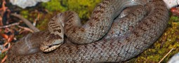 Reptil des Jahres 2013: Die Schlingnatter
