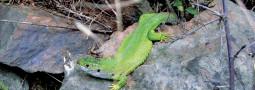 Die Smaragdeidechse bei Runkel