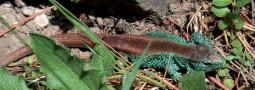 Die Zauneidechse in der Dölauer Heide