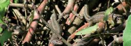 Eingeschleppte Mauereidechsen vs. Heimische Zauneidechsen
