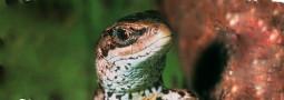Das Reptil des Jahres 2006: Die Waldeidechse