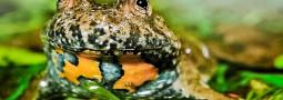 Die Gelbbauchunke: Froschlurch des Jahres 2014