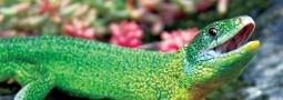 Überprüfung von Isolation und Autochthonie der Westlichen Smaragdeidechse