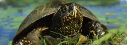 Kurzporträt der Sumpfschildkröte