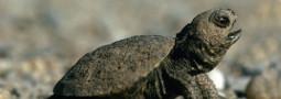 Für den Schutz der Sumpfschildkröte