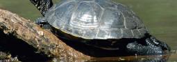 Das Reptil des Jahres 2015: Die Europäische Sumpfschildkröte