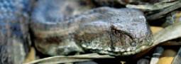 Biotope der Levanteotter auf Zypern