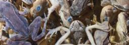 Use it or lose it: Herpetologische Beifänge als wertvolle Datenquelle