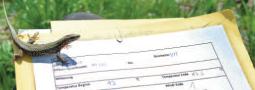Evaluierung der Aufnahme von Pflanzenschutzmitteln bei Mauereidechsen