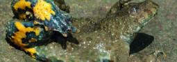 Mertensiella Band 29: Verbreitung, Biologie und Schutz der Gelbbauchunke Bombina variegata (Linnaeus, 1758)