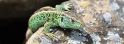 Internationale Fachtagung zur Zauneidechse – Reptil des Jahres 2020/21 in Offenburg – Update 17.09.21