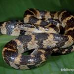 Liophis festae ist eine der wenigen Reptilienarten, die im Schutzgebiet nachgewiesen wurden