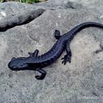 Studienobjekt, Salamandra atra; Foto: J. Dambach