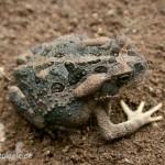 Chaunus cf. achavali (Bufonidae)