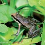 Physalaemus lisei (Leptodactylidae)