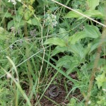 Norditalienisches Mauereidechsenmännchen (P. m. maculiventis-West) an einem für heimische Mauereidechsen atypischen Sonnenplatz in Nürtingen
