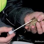 Hautabstrichverfahren nach Kriger et al. (2006) bei einer Erdkröte. Foto: R. Pietsch