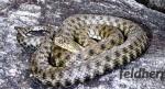 Die Würfelnatter: Reptil des Jahres 2009