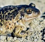 Froschlurch des Jahres 2007: Die Knoblauchkröte