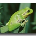 Der Laubfrosch: Amphib des Jahres 2008