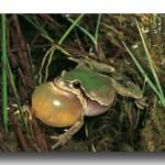 Der Laubfrosch: Grüner Rücken, orange Schallblase