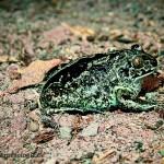 Knoblauchkröte beim Eingraben Teil 1
