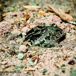 Knoblauchkröte beim Eingraben Teil 2