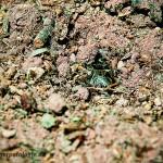 Knoblauchkröte beim Eingraben Teil 4