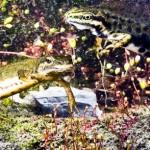 Paarungstanz bei Teichmolchen