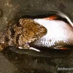 Würfelnatter fressen bevorzugt Fische