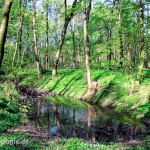 Auenwälder bieten Laichgewässer, Sommer- und Winterlebensräume