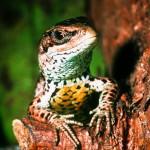 Reptil des Jahres 2006: Die Waldeidechse
