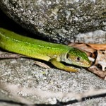 Westliche Smaragdeidechse (Lacerta bilineata), Weibchen, Foto: Ulrich Schulte