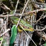 Westliche Smaragdeidechse (Lacerta bilineata), Weibchen, Mittelmosel, Foto: Ulrich Schulte