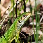 Westliche Smaragdeidechse (Lacerta bilineata), Weibchen, Jaujac, Frankreich, Foto: Ulrich Schulte