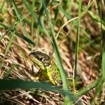 Westliche Smaragdeidechse (Lacerta bilineata), weiblich, Mittelmosel, Foto: Ulrich Schulte