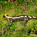 "Feuersalamander (Salamandra salamandra), Männchen, lateral, im NSG ""Waldecker Schloßgrund"", Waldeck, Thüringen, Deutschland, 07.08.2012, Foto: Andreas Nöllert"