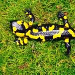 """Feuersalamander (Salamandra salamandra), Weibchen, dorsal, im NSG """"Waldecker Schloßgrund"""", Waldeck, Thüringen, Deutschland, 07.08.2012, Foto: Andreas Nöllert"""