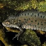 "Nördlicher Kammmolch (Triturus cristatus), Männchen in Wassertracht, NSG ""Windknollen"", Jena, Thüringen, Deutschland, Mai 1991, Foto: Andreas Nöllert"