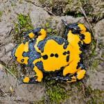 Gelbbauchunke (Bombina variegata), Männchen, Variabilität Ventralzeichnung, Jena, Thüringen, Deutschland, 23.07.2012, Foto: Harald Dittmann, Jena