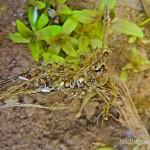 Gelbbauchunke (Bombina variegata), Gelege, Jena, Thüringen, Deutschland, 11.06.2012, Foto: Harald Dittmann, Jena
