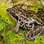 Moorfrosch (Rana a. arvalis), Weibchen, Rambower Moor, Brandenburg, Deutschland, 26.05.2012, Foto: Andreas Nöllert
